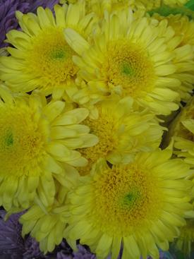 Chrysanthemum-Yellow-Disbud-Cremon