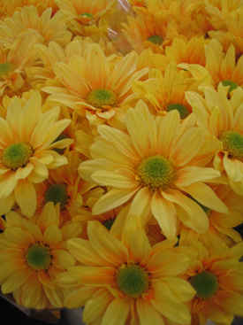 Chrysanthemum-Yellow Dyed-DaisyPomPon