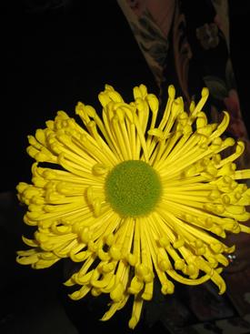 Chrysanthemum-Yellow-ET-Disbud