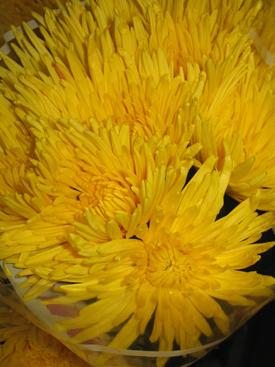 Chrysanthemum-Yellow-Fugi