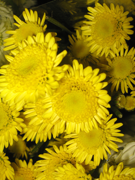 Chrysanthemum-Yellow-Novelty PomPon