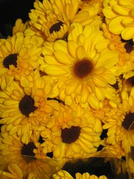 Chrysanthemum-Yellow-Daisy-PomPon-Viking