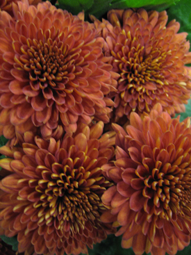 Chyrsanthemum-Brown-Disbud-Cremon