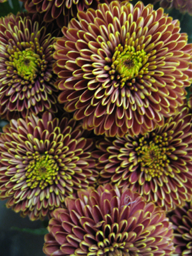 Chyrsanthemum-Brown-Disbud2