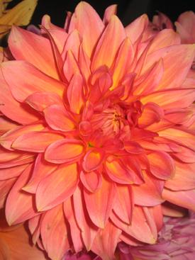 Dahlia-Orange