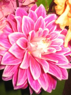 Dahlia-Pink-Bicolor