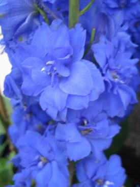 Delphinium-Blue-Hybrid