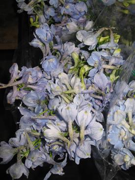 Delphinium-BlueLT-Belladonna