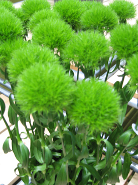 Dianthus-Green-GreenTrick