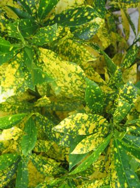 Dracena-Yellow-Bicolor-GoldDust