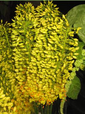 Eremurus-Yellow