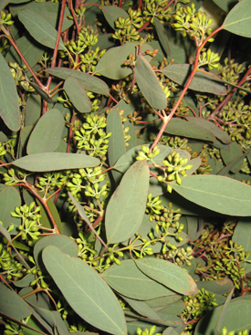 Eucalyptus-Gray-Seeded