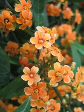 Euphorbia-Orange