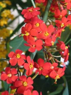 Euphorbia-Red