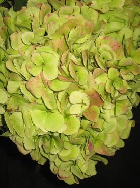 Hydrangea-Green1