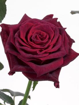 Rose-Burgundy-BlackBaccara-Eufloria