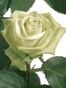 Rose-Green-GreenTea-Eufloria