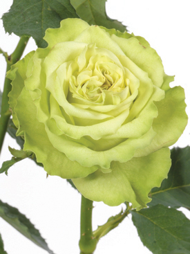 Rose-Green-SuperGreen-Eufloria