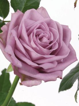 Rose-Lavender-CoolWater-Eufloria