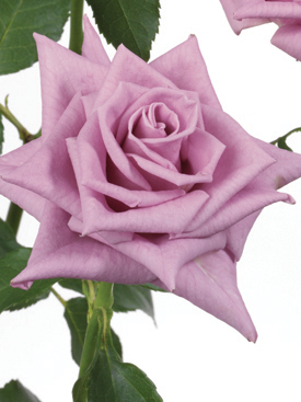 Rose-Lavender-Delilah-Eufloria