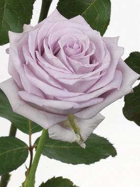 Rose-Lavender-PacificBlue-Eufloria