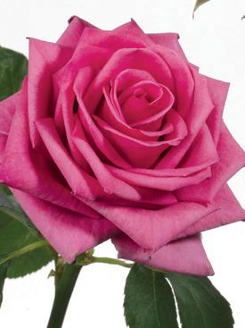 Rose-Magenta-TengaVeng-Eufloria