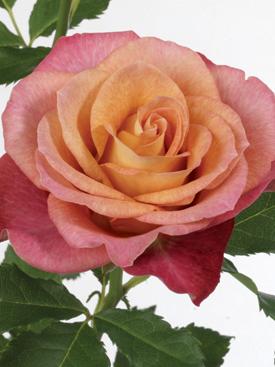 Rose-Mauve-GypsyCuriosa-Bicolor-Eufloria