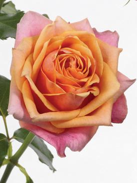 Rose-Orange-CherryBrandy-Bicolor-Eufloria