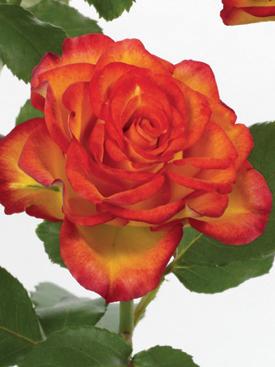 Rose-Orange-Circus-Bicolor-Eufloria