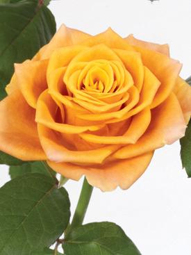 Rose-Orange-MarieClaire-Eufloria