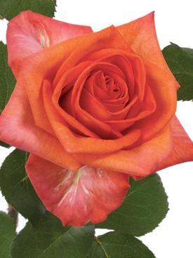 Rose-Orange-Naranga-Eufloria