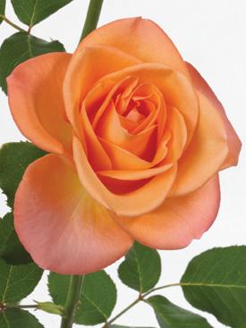 Rose-Orange-TropicalAmazon-Eufloria
