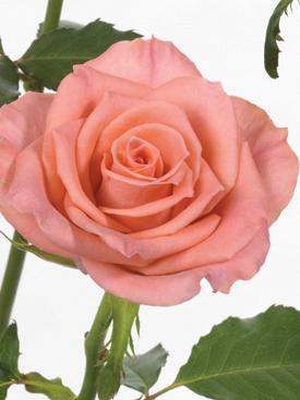 Rose-Peach-Amsterdam-Eufloria