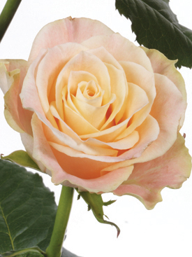 Rose-Peach-Geneve-Eufloria