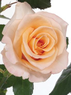 Rose-Peach-LaParisienne-Eufloria