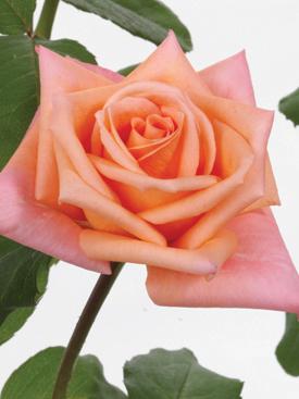 Rose-Peach-LollyPop-Eufloria