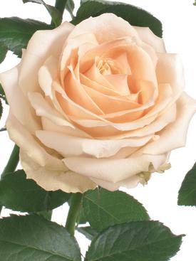 Rose-Peach-PeachAvalanche-Eufloria