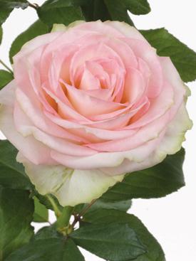 Rose-Pink-Esperance-Eufloria