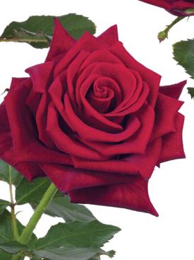 Rose-Red-BullsEye-Eufloria