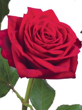 Rose-Red-PolePosition-Eufloria