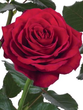 Rose-Red-Prestige-Eufloria