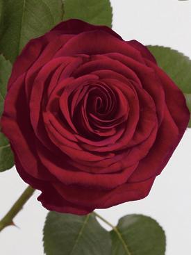 Rose-Red-RedNaomi-Eufloria
