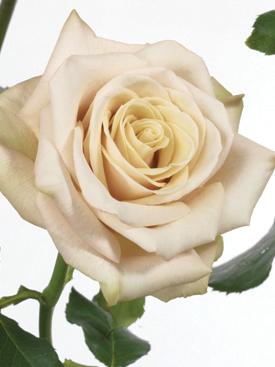 Rose-Taupe-Sahara-Eufloria