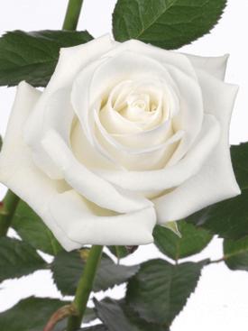 Rose-White-Akito-Eufloria