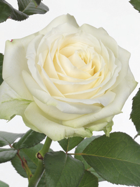 Rose-White-Avalanche-Eufloria