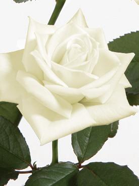 Rose-White-Escimo-Eufloria