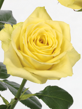 Rose-Yellow-Kronos-Eufloria
