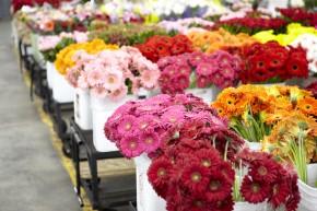 Gerberas from Lourdes at the LA Flower Market