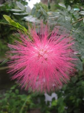 Honeysuckle Pink Satellite Flowers... what is it???