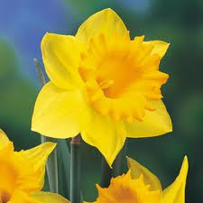 Daffodil Photo For Daffodil Care and Handling